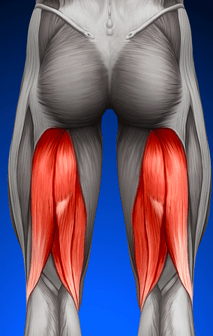 depiction of hamstring muscles